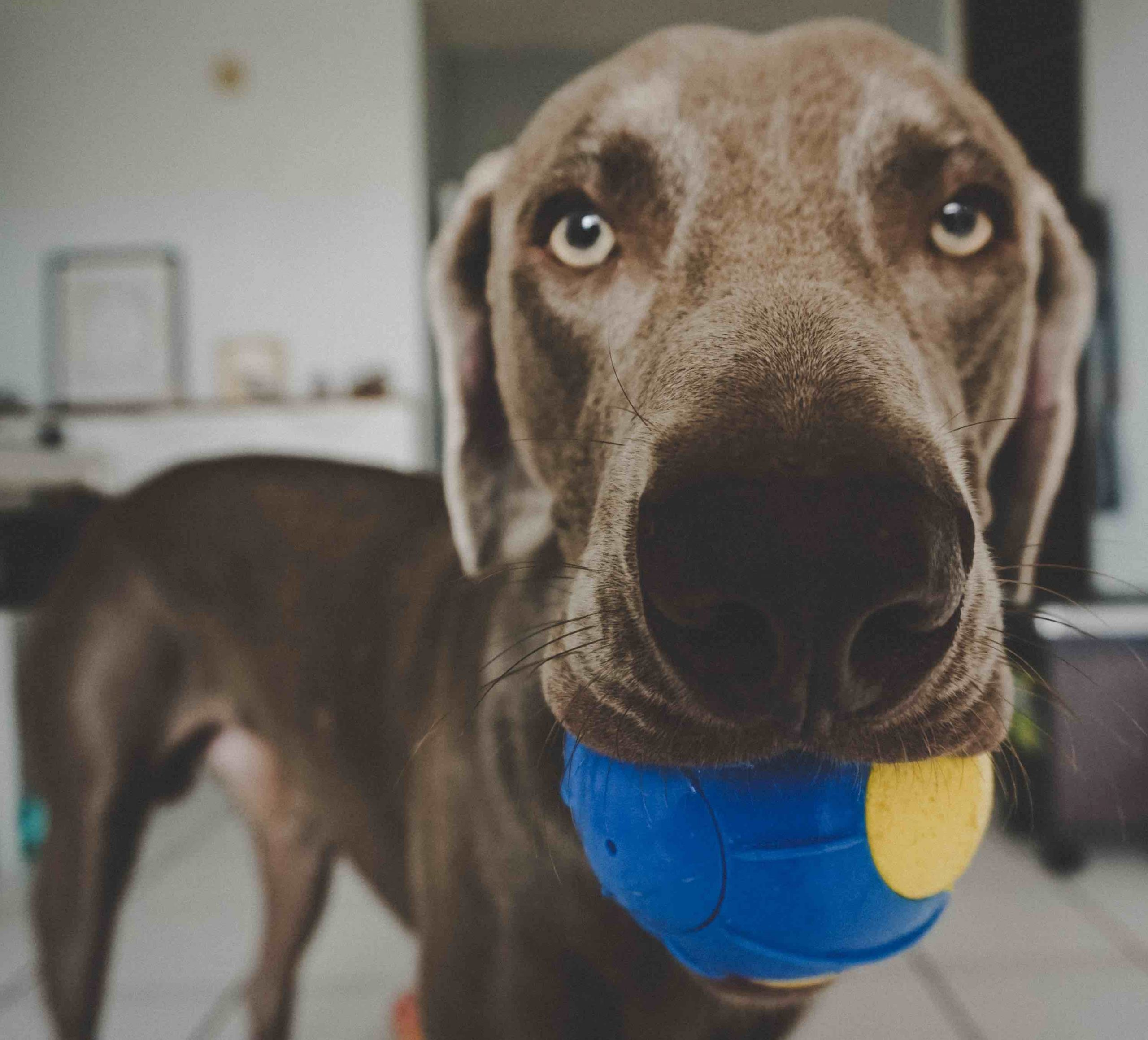 dark grey greyhound holding a  blue and yellow ball in it's mouth
